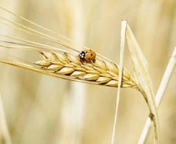 265px-A_lady_beetle_perches_on_barley