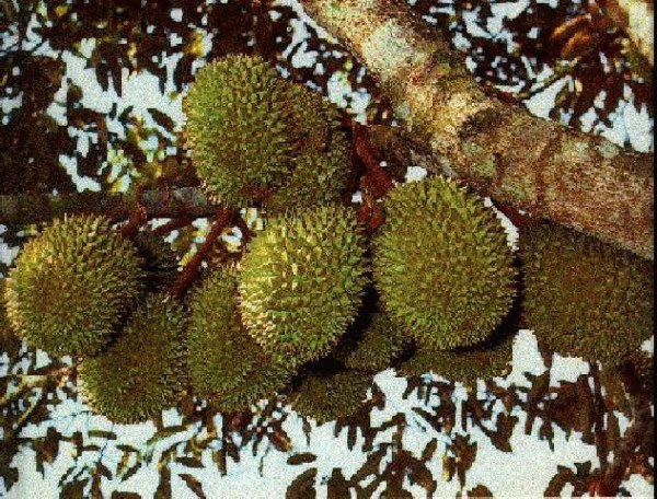 8_mid_size_durian